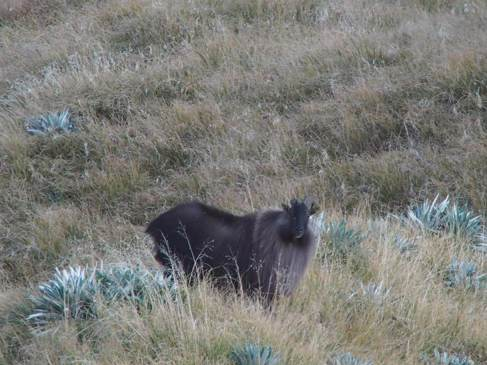 Tahr and Chamois Season-image6