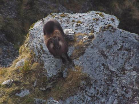 Tahr and Chamois Season-image8